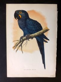 Greene Parrots in Captivity 1887 Hand Col Bird Print. Hyacinthine Macaw